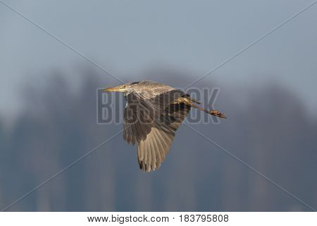 Gray Heron (ardea Cinerea) Flying With Forest And Blue Sky