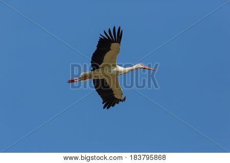 Flying White Stork (ciconia Ciconia) In Blue Sky