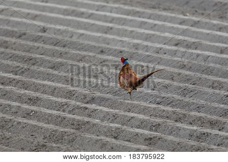 Male Pheasant (phasianus Colchicus) In Agricultural Land