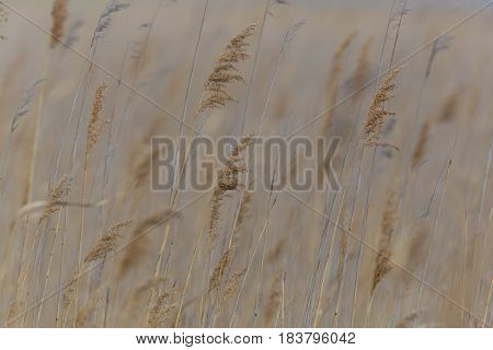 several natural ears of reed grass in the wind