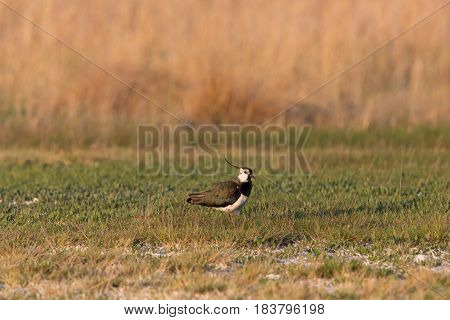 Portrait Of Lapwing (vanellus Vanellus) Standing In Meadow