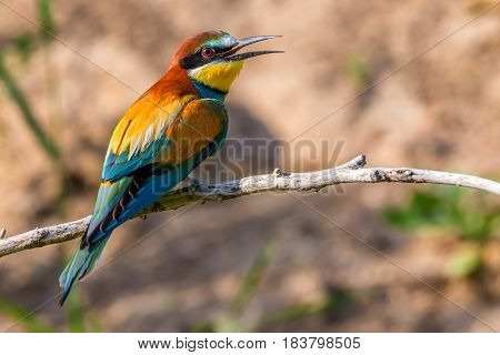 European bee-eater or Merops apiaster is sitting on a twig