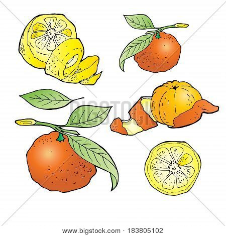 mandarin lemon hand draw vector illustration set