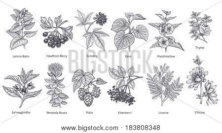 Medical herbs and plants big set. Lemon Balm Hawthorn Berry Rhodiola Rosea Kava Licorice Marshmallow flower Chicory Ashwagandha Hops Thyme. Vector illustration art. Black and white. Vintage.