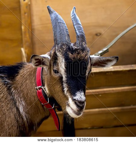 Close-up of a Goat with beautiful horns and wool in a red collar. Clever and watchful look of a goat. Concept environmental protection, ecology, Farm, contact zoos. Square
