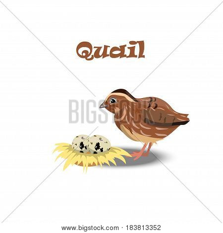 Original trendy vector illustration of cute little quail with nest end eggs. Farm animals collection
