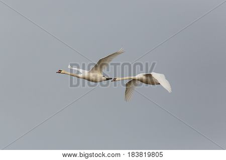 Two Mute Swans (cygnus Olor) In Flight With Gray Sky