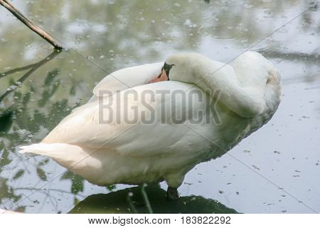 Sleeping Swan. White Swan sleeping with its head hidden beneath its wings. Sleeping white proud bird on the water. Waiting for his in the second half. Bird resting by day on the lake.