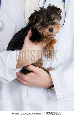 Veterinarian Holding Yorkshire Terrier Puppy - Close Up
