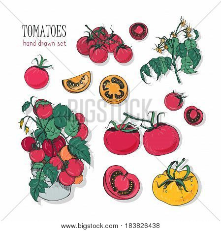 Tomato varieties, hand drawn set. branch, flowers, bush, part in a cut. Colorful vector illustration with cherry tomatoes, red, orange, yellow colors