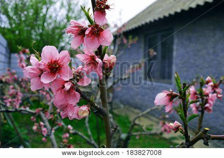 Pink peach tree flowers in the garden