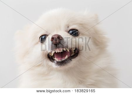 Angry pomeranian over white background