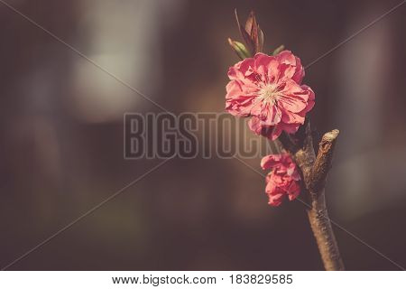 branches with red japanese flowers , small , trees, close up, amazing , beautiful , spring flowers , green background , floral , dreamy