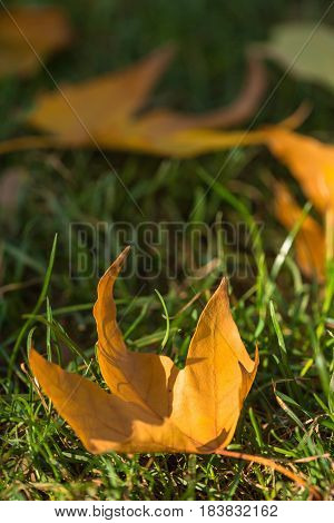 Yellow Autumn Plane Tree Leaves on the Lawn