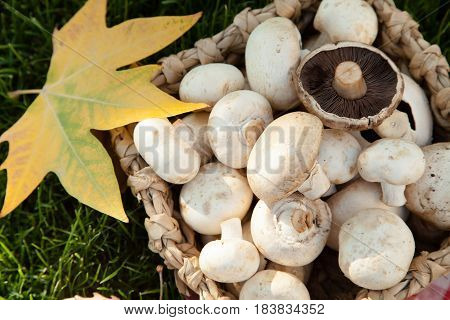 Champignons Mushrooms in Basket on the Green Grass