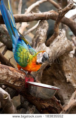 Orange blue parrot sitting on wooden branch drinking water from bowl at daytime.