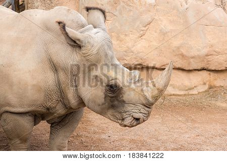 Rhinoceros also known as rhino, Lonely specimen in a bio park, Detail of head and horn sad eyes