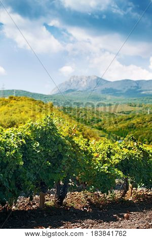 Grapes Growing in a Vineyard on The Background of Mountains