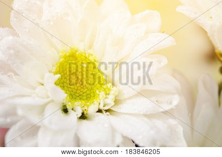 White chrysanthemum with water drop and soft light.