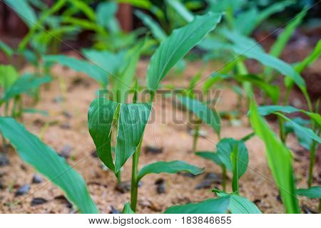 Turmeric or Curcuma longa on crop farm