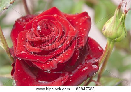 The red flower of the rose with the dewdrops on its petals close up