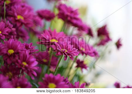 Beautiful pink daisy flowers closeup abstract blur background