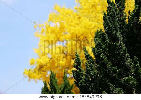 Green tree and cassia tree closeup with blue sky nature landscape background