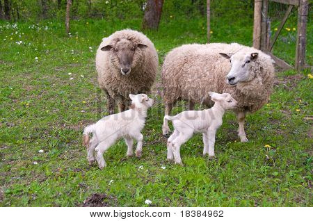 Sheep And Lambs On Pasture.