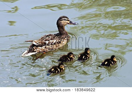 duck with four ducklings swim on the pond
