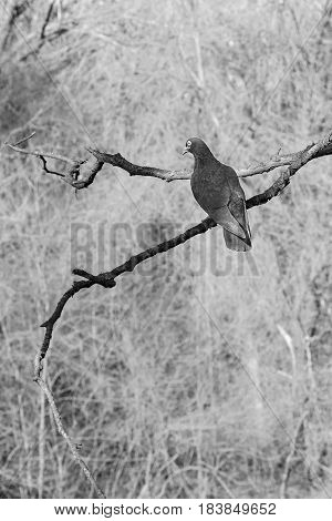 Beautiful poetical imagine of a dark dove on a branch and sky on the background in blur