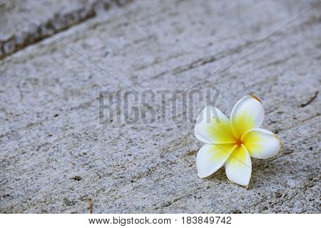 Plumeria flowers falling on floor closeup background. Flower falling ground background