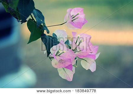 Beautiful pink bougainvillea flowers on blur background