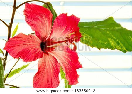 Image of a beautiful houseplant hibiscus flowered red flower