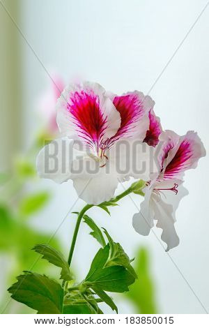 Image of a beautiful houseplant pelargonium blossomed white-purple flowers
