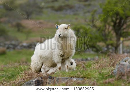 Welsh mountain sheep ewe keeps a watchful guard while feeding her lamb on a rugged mountain pasture in Bala rural Wales