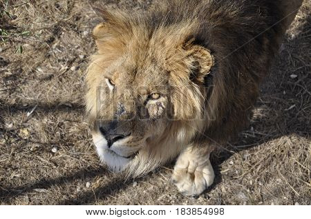 the lion which has the scars on his face closeup