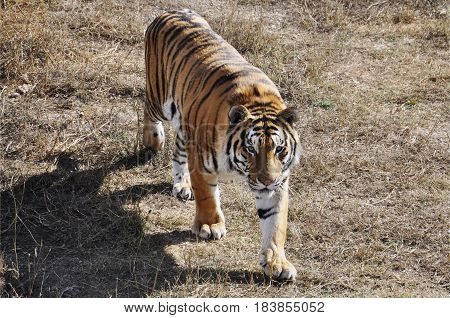 young Amur tiger walks. wild predatory cats