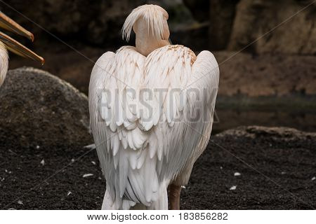 Back view of a pelican's plumage Pelecanus philippensis