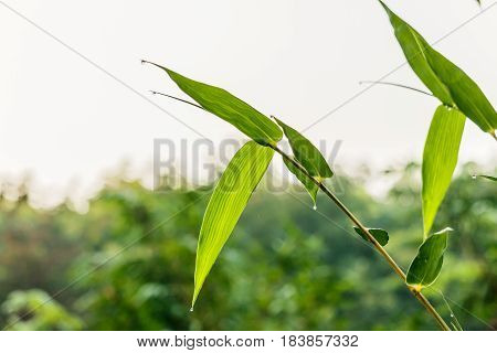 natural green bamboo leaf with wather drop