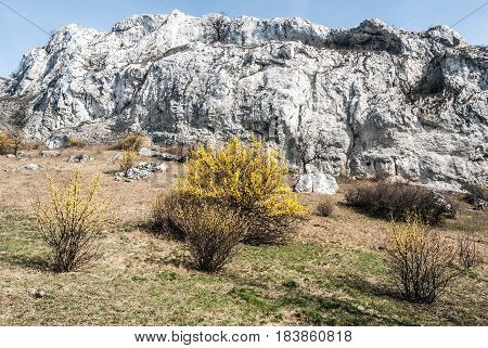 spring Palava mountains in NPR Devin - Kotel - Souteska in South Moravia with meadow flowering cornus mas plants limestone rocks and clear sky