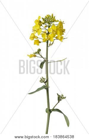 Fresh yellow field mustard flower on white background