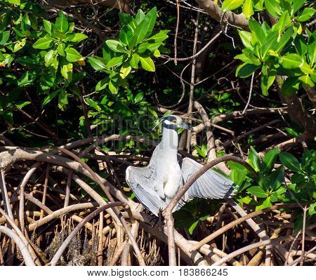 Yellow crowned night heron in the sun with its wings open in the Sian Kaan Biosphere Reserve near Tulum Mexico