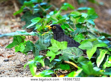 Blackbird or Turdus merula on the grass in the garden at the day light