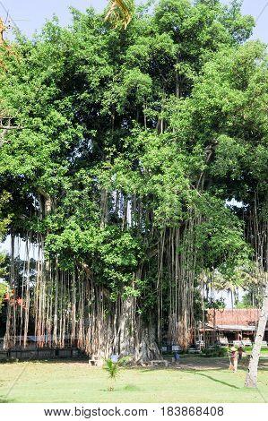 Borobudur Indonesia - 31 January 2013: Large old tree overgrown with lianas at Borobudur on Java Indonesia