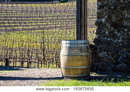 Vineyard rows with wine barrel and path in Napa Valley California