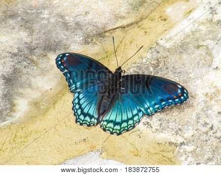 Closeup of white admiral or red-spotted purple blue butterfly or limenitis arthemis
