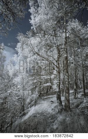 Landscape in infrared light. We see beautiful trees with white foliage against the black sky. It is wonderful.