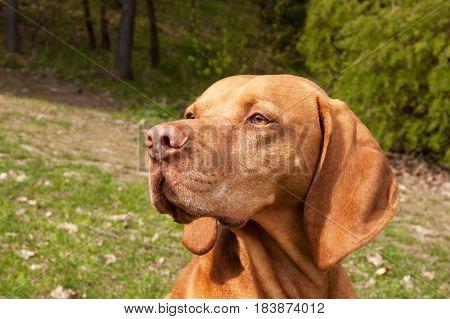 Hungarian pointer Vizsla sniffing on hunt. Dog a loyal friend of a hunter. Detail of dog head
