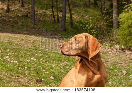 Hungarian pointer Vizsla sniffing on hunt. Dog a loyal friend of a hunter. Detail of dog head