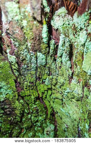 Decomposing Tree Bark Covered By Green Moss